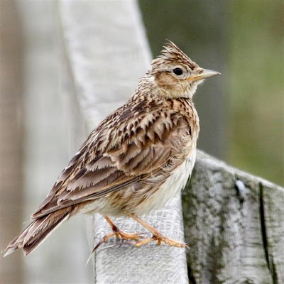 Watching the skylark's ascent from Mandalay's beach decking is one of the joys of staying in the cottage at this time of year