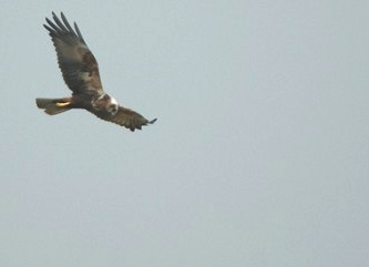 Thanks to Jon in North Road, Southwold for his stunning photo of a marsh harrier in flight