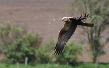Marsh Harrier over the reed beds