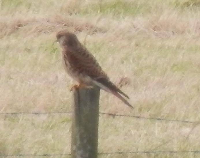 Kestrel in field behind Ferry Road, Southwold