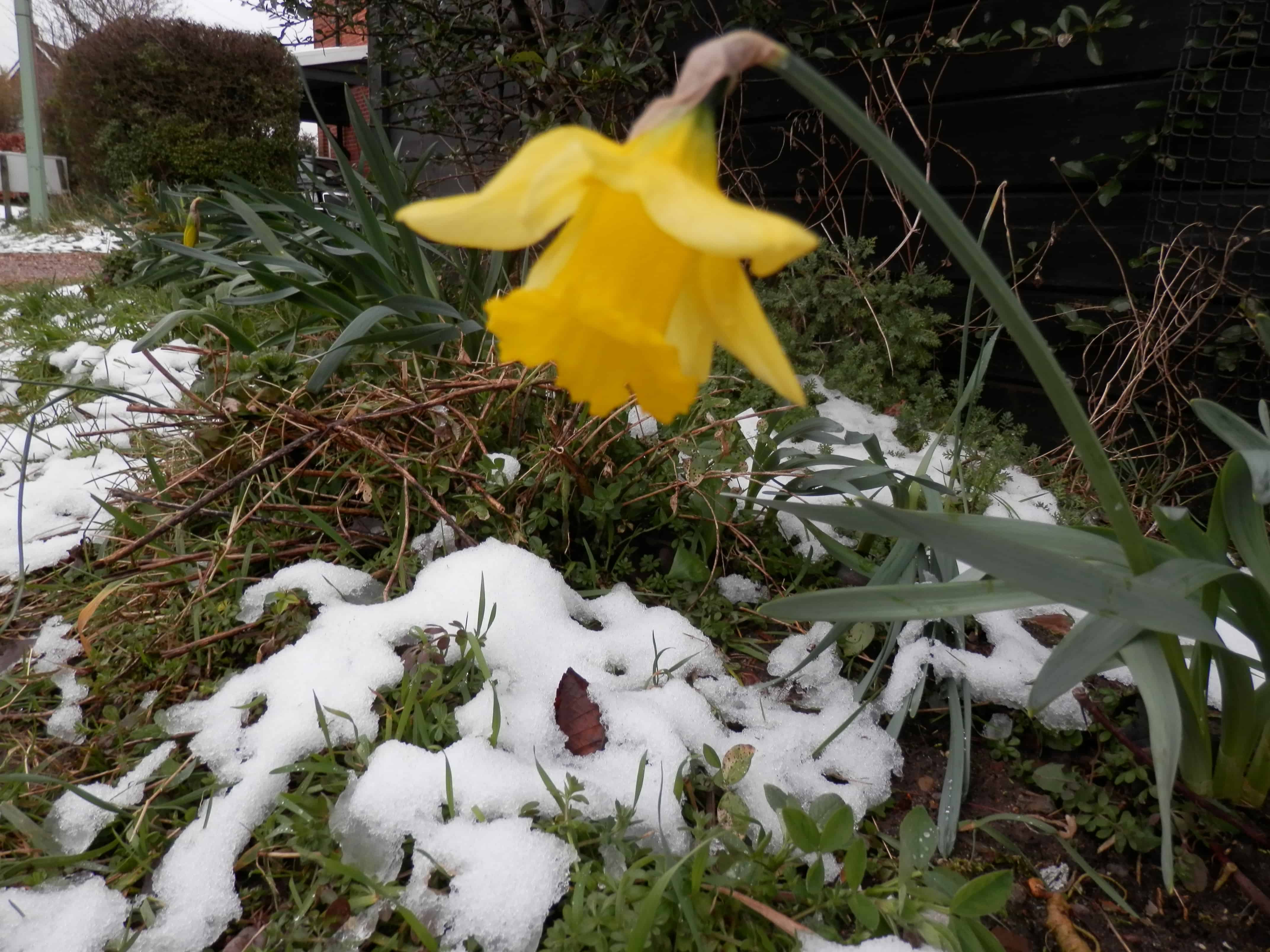 An early daffodil contrasts against late snow.