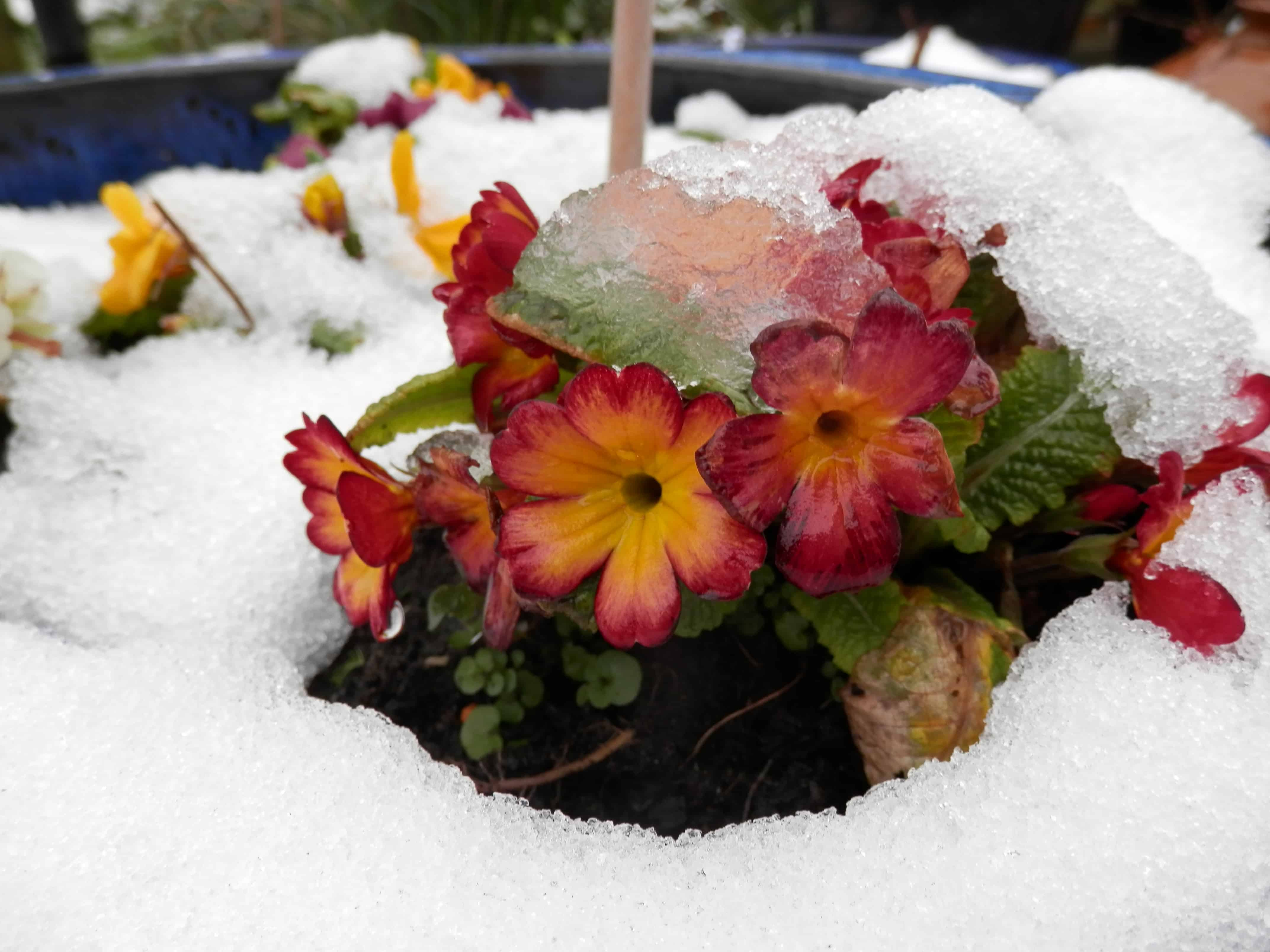 Late snow frames the bright polyanthus, shortly to herald Spring